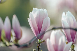 magnolia-bloom-opening.jpg