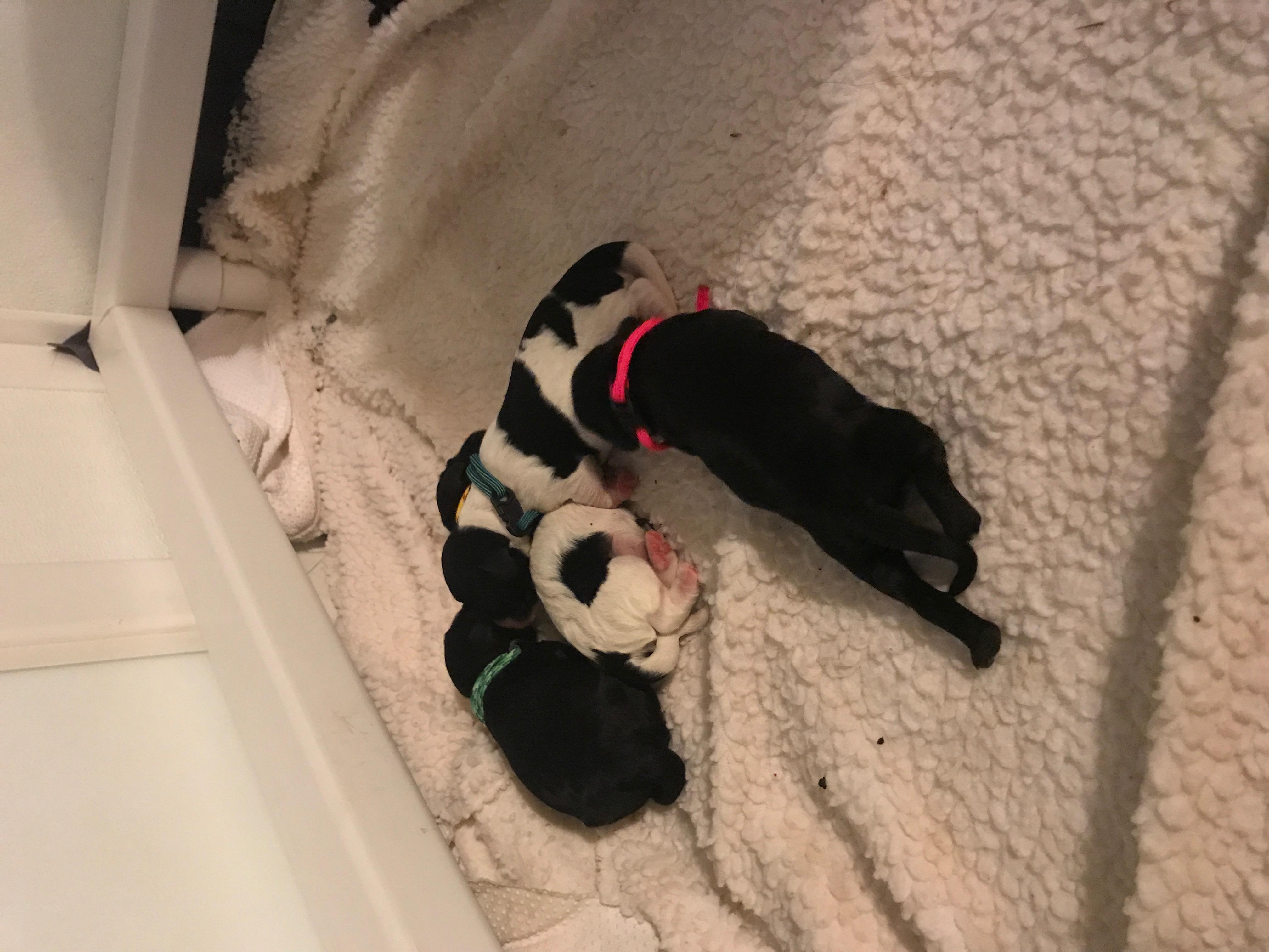 Australian Labradoodle Puppies NY