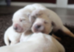 Moonlit Acres Golde Retiever Puppies