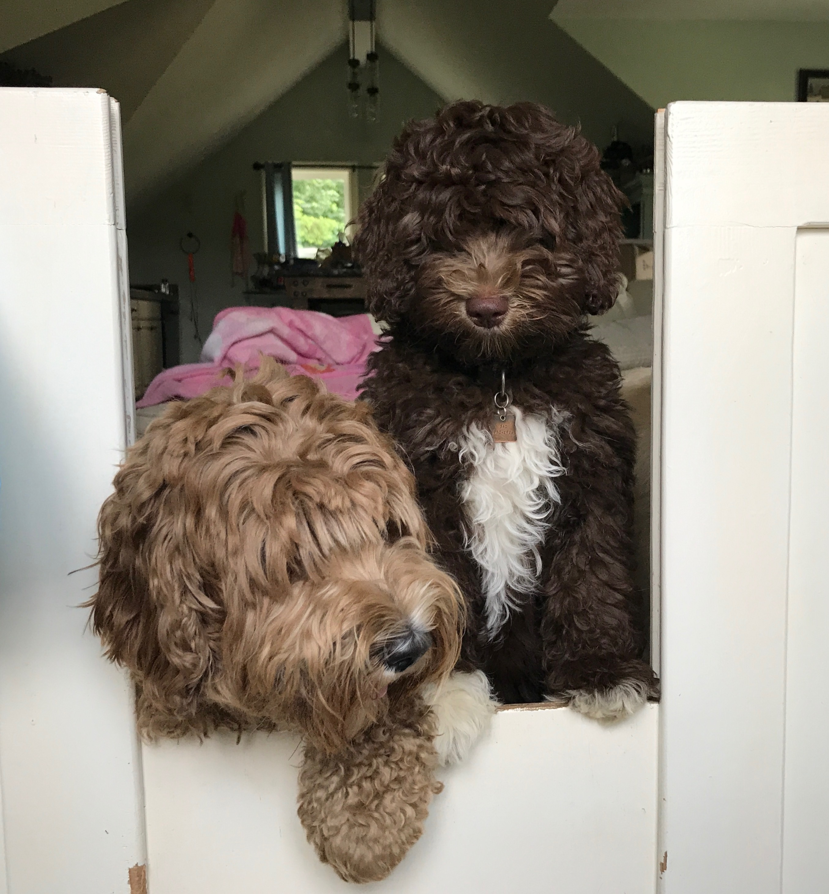 Australian Labradoodle Puppies Ohio