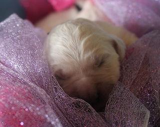 Moonlit Acres Golde Retiever Puppy