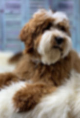 Hudson's Manor Australian Labradoodle Red Mini Stud Available To Approved Breeders