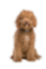 Australian Labradoodle puppies available seattle, New York, Portland, Oregon, WA Service dogs