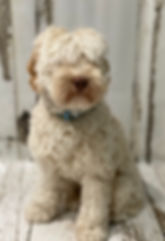 Moonlit Acres Oliver Twist mini Australian Labradoodl Stud