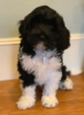 Moonlit Acres Giorgio Armani Medium Black Parti Australian Labradoodle Stud