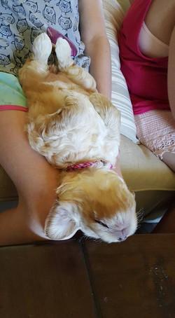 Australian Labradoodle Puppies Texas