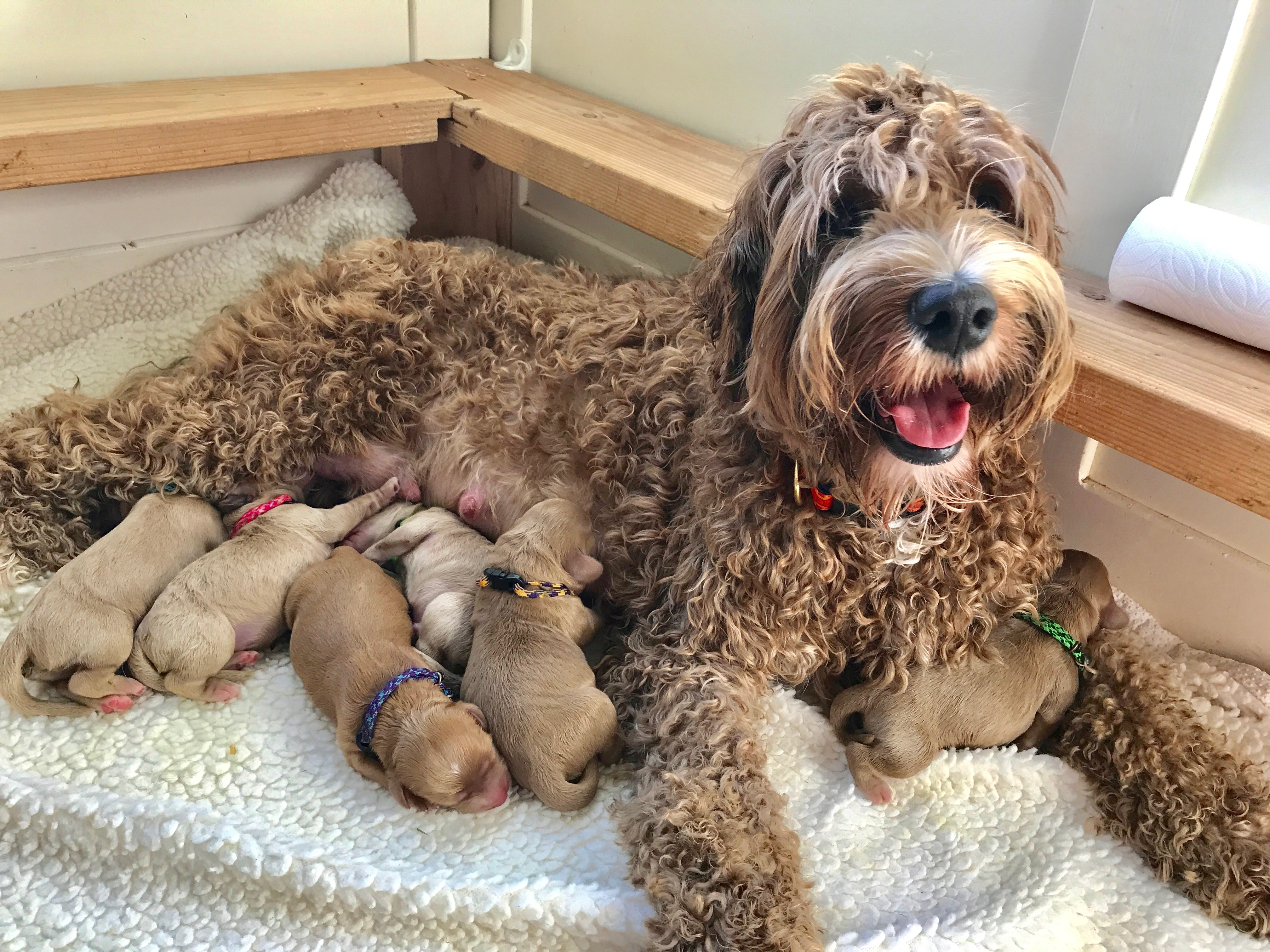 Australian Labradoodle Puppies OR