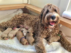 Australian Labradoodle Puppies OR