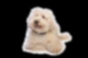 Australian Labradoodle puppies available seattle, New York, Portland, Oregon, WA