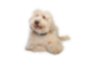 Australian Labradoodle puppies available seattle, New York, Portland, Oregon, WA