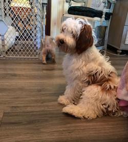 Australian Labradoodle Puppies Washi