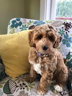 Lolli as a puppy