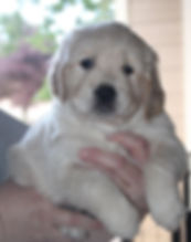 Moonlit Acres Golde Retiever Puppy
