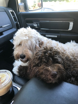Australian Labradoodle Puppies CA