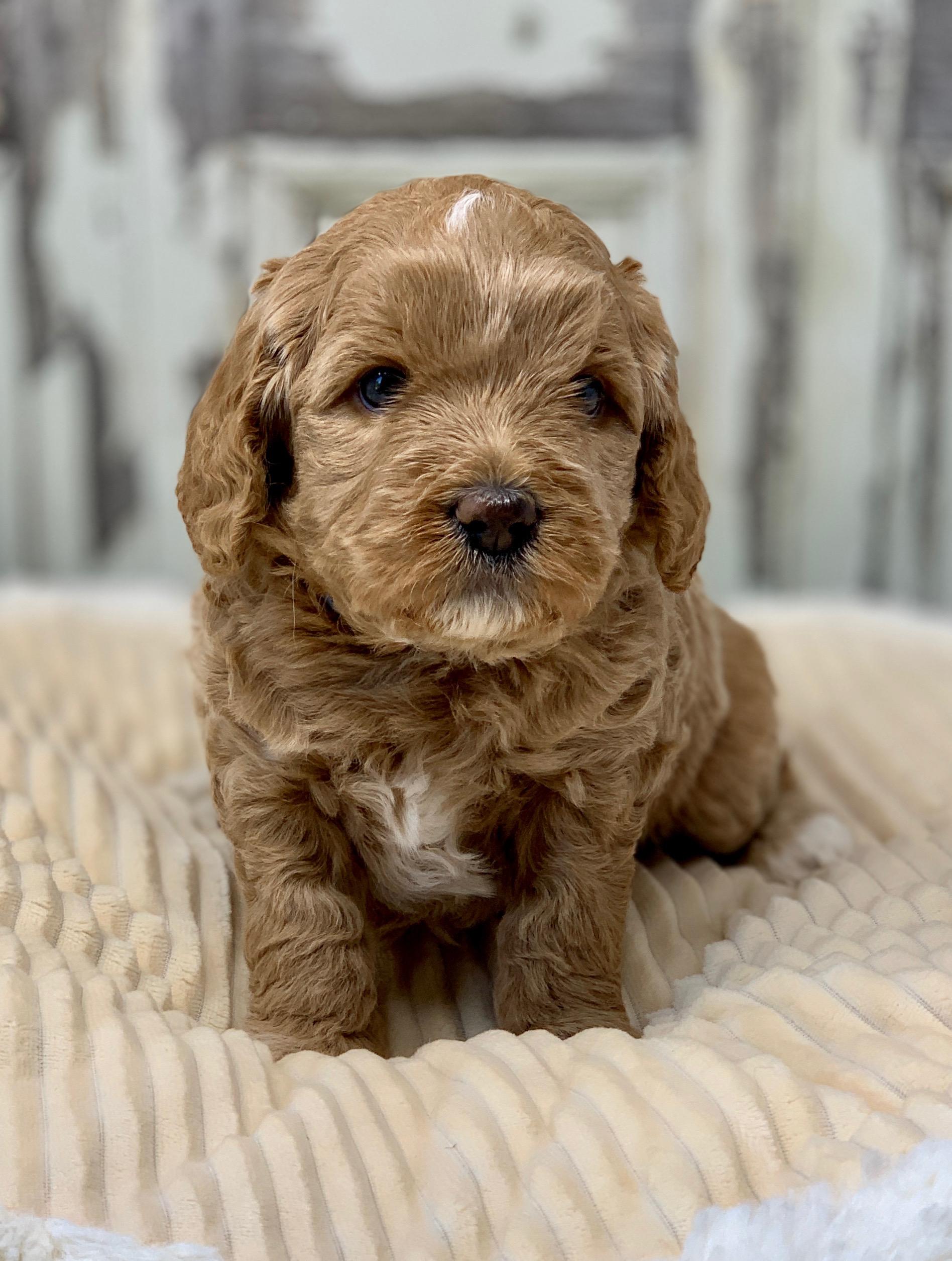 Cotton Candy (Slick x Ava Female Pup