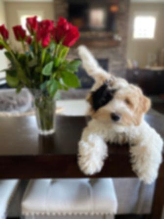 Australian Labradoole Puppies Available
