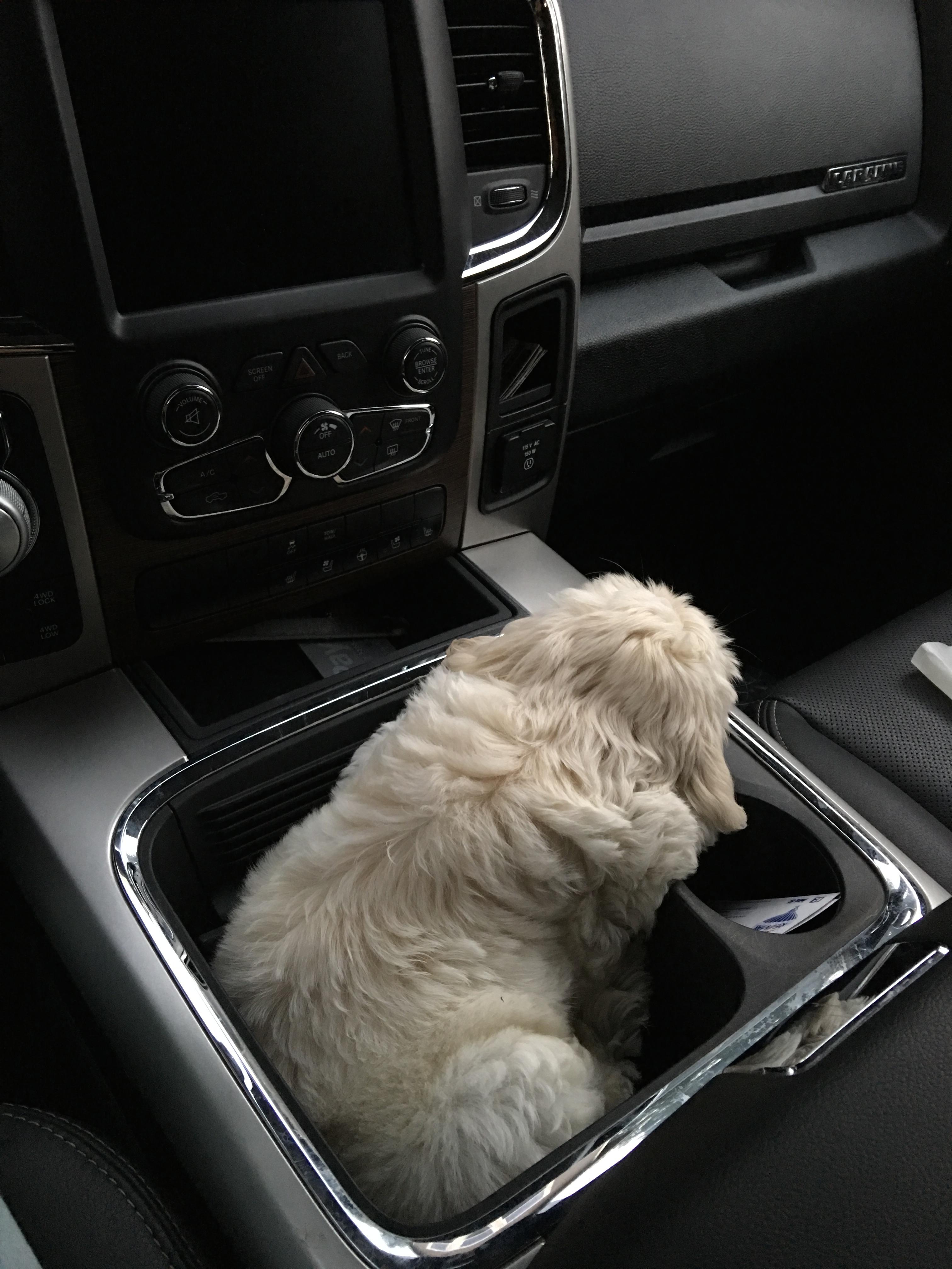 Australian Labradoodle Puppies Avail