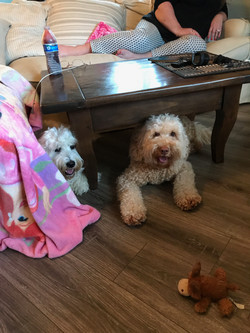 Labradoodle Puppies Bellevue