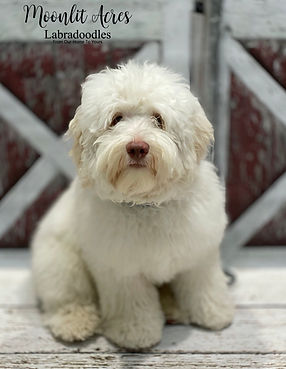 Moonlit Acres S'mores AKA Marshmallow Austrlian Labrdoodle stud services available iced cramel parti excellent hips and health score AKC CGC Certified