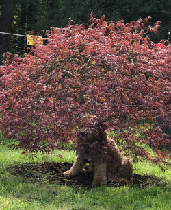 Labradoodle Puppies Vancouver