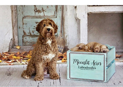 Australian Labradoodle Puppies Available