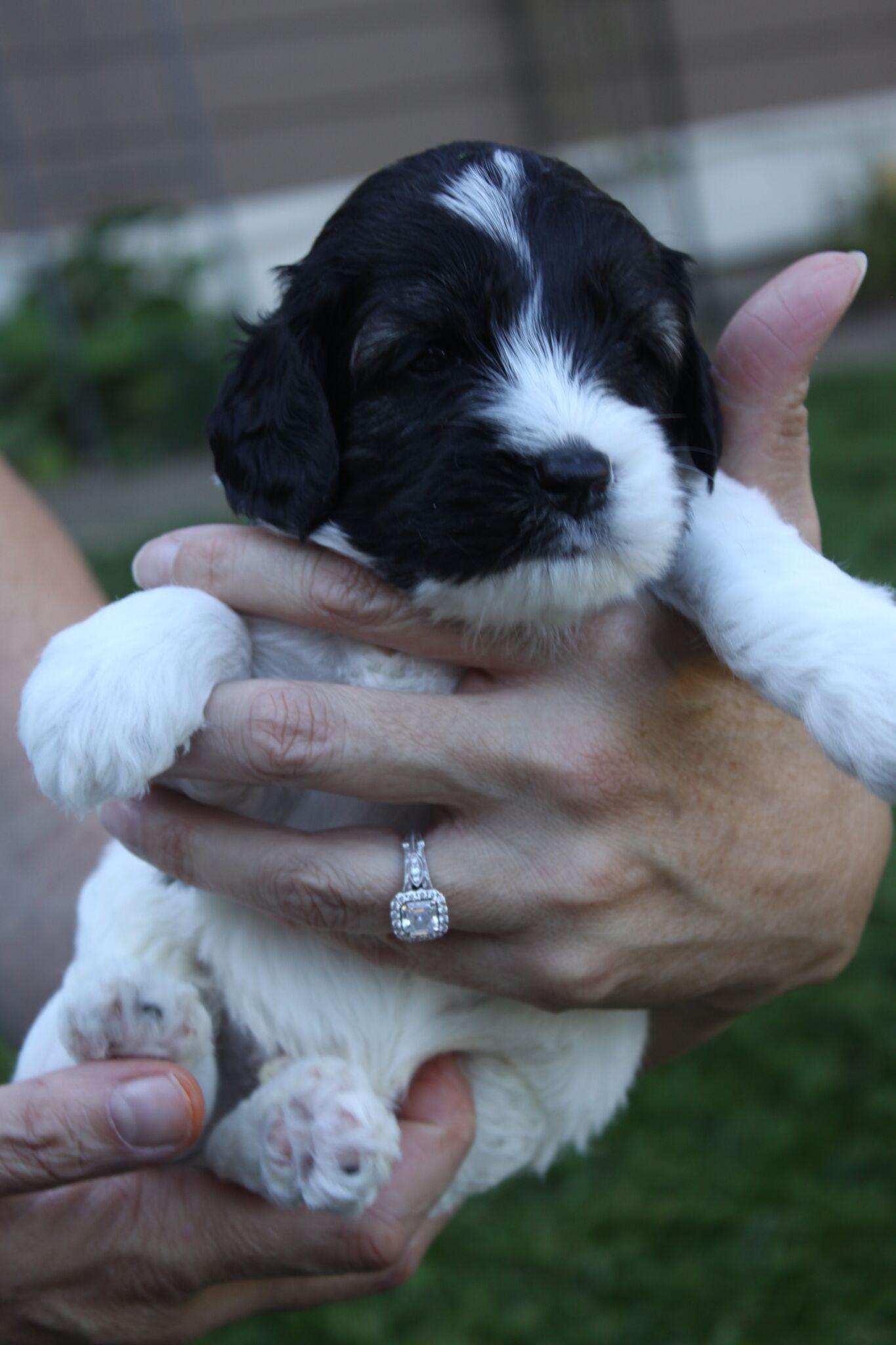Labradoodle Puppies Portl