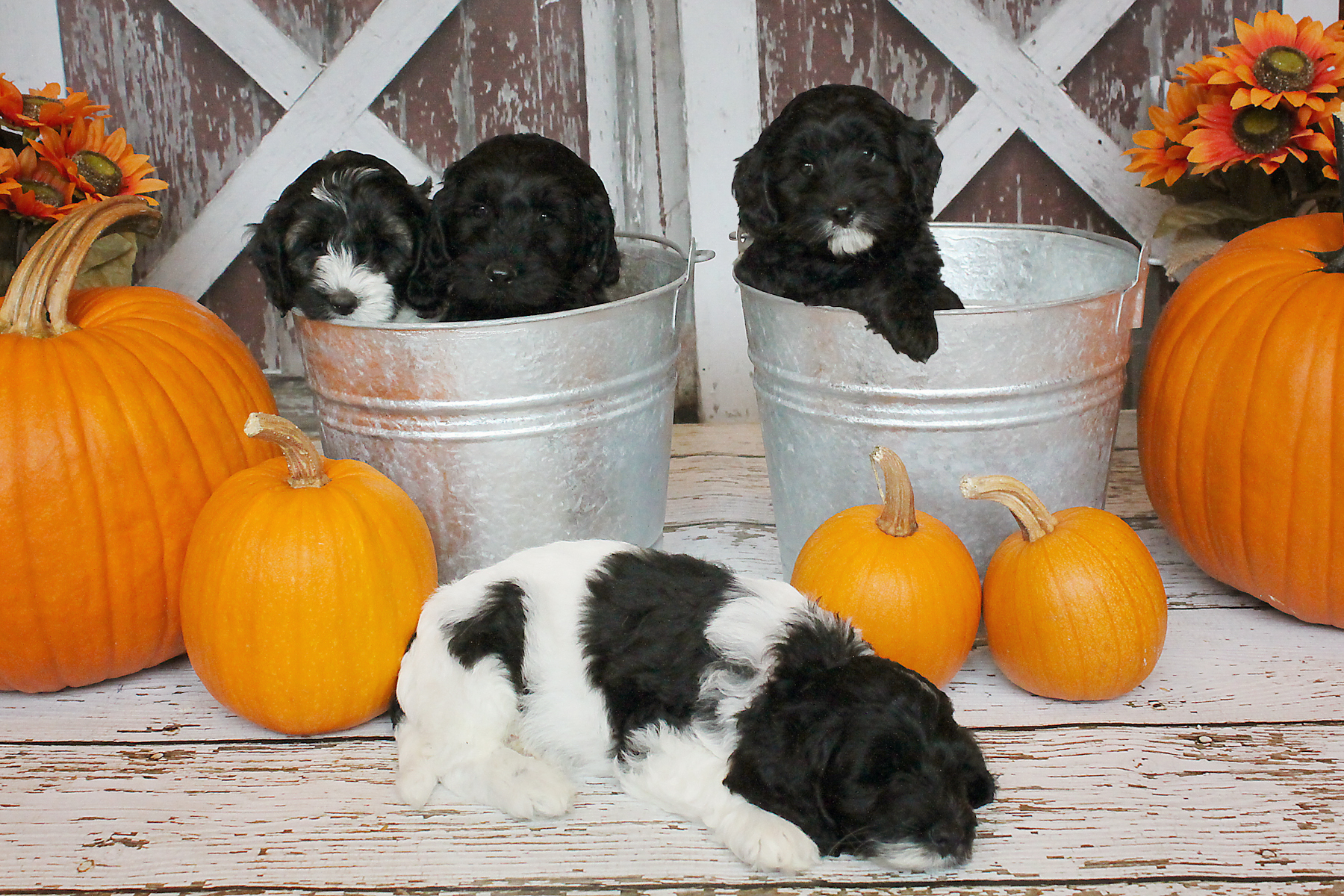 Australian Labradoodles Puppies