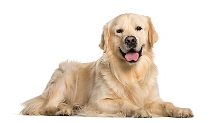 Golden Retriever.png
