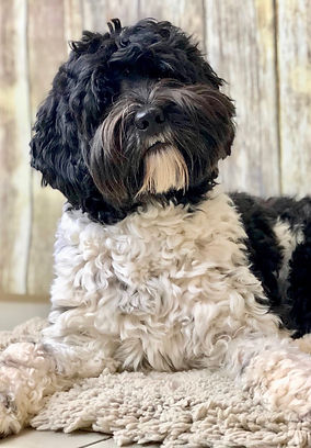 Loveable Labradoodles I am So Slick Australian Labrdoodle Mini Black and white Stud Carries for ti color and phantom stocky build with great conformation