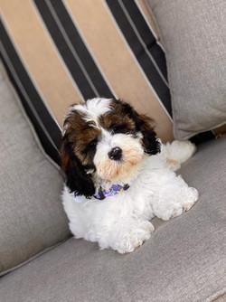 Savannah as an Australian Labradoodle Puppy