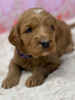 Austrlian Labradoole Guardian Program Puppies Available Portland, Oregon, Vancouver, Washington