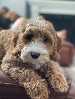 Hudson puppy