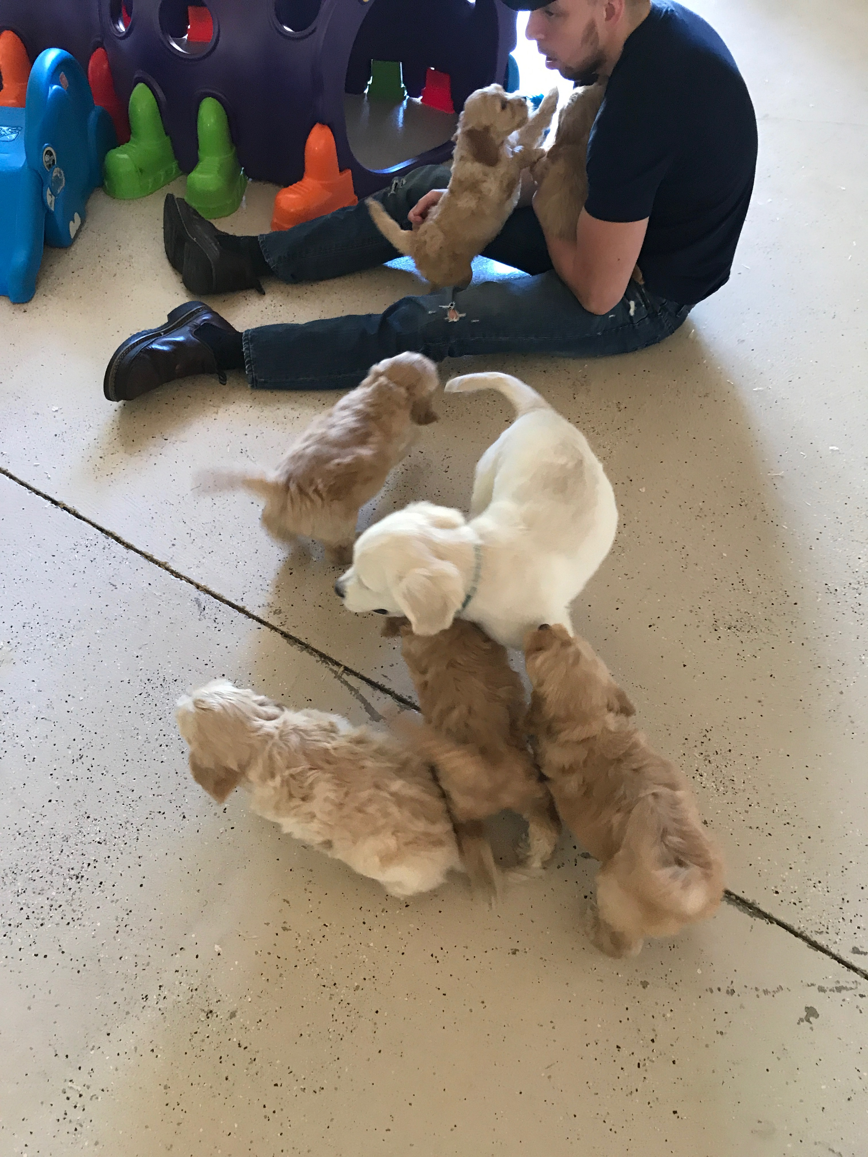 Labradoodle Puppies Issaquah