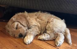 Australian Labradoodle Puppy WA
