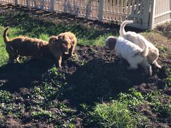 Dirt Puppies gardening