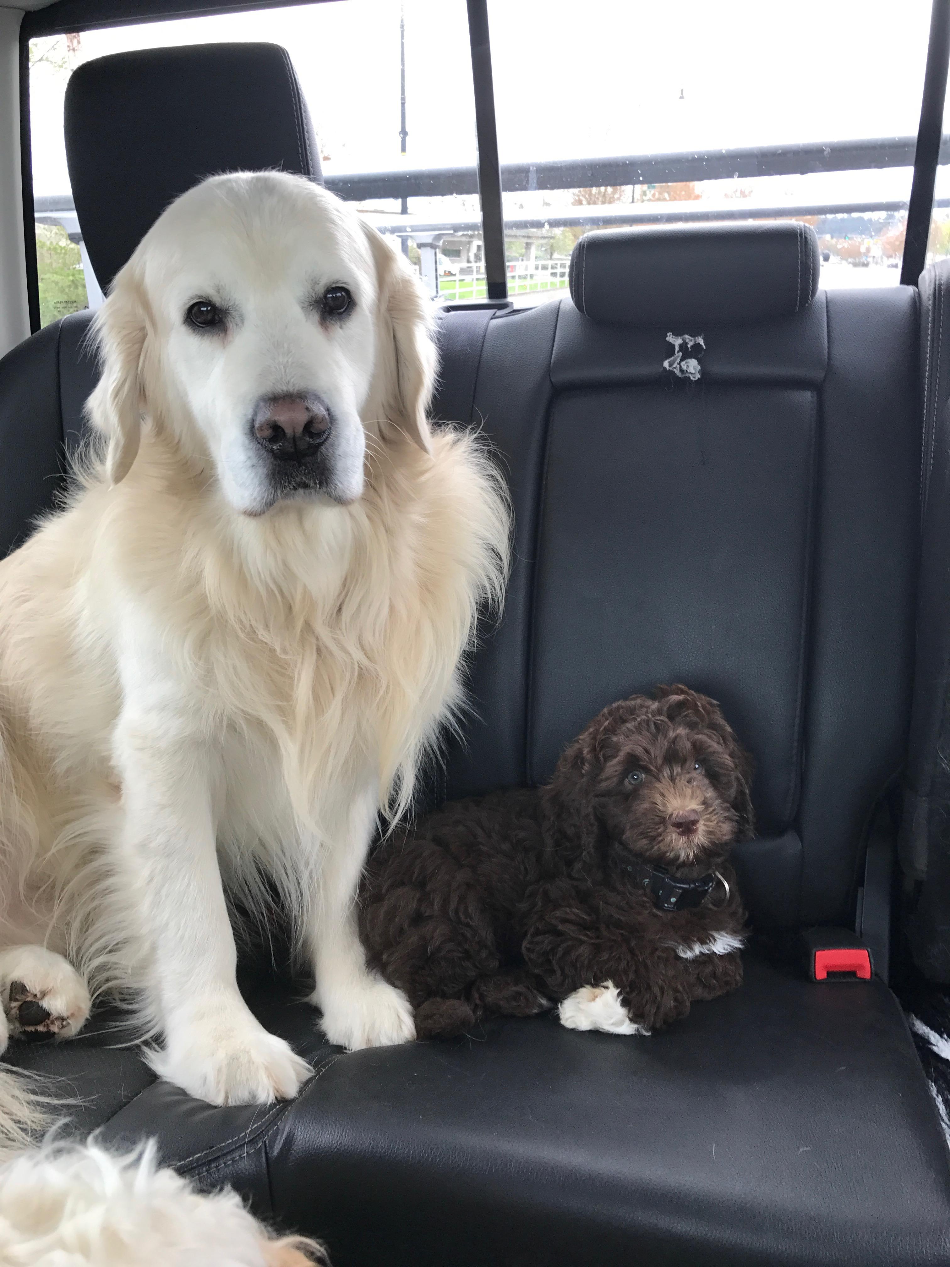 Australian Labradoodle Puppies Bend