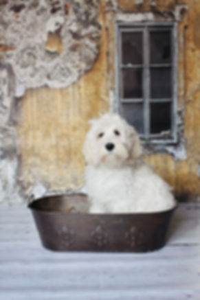 Australian Labradoodle Stud Services Available Oregon & Washngton Moonlit Acres