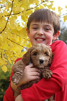 Australian Labradoodle Puppies Available for sale washington Oregon Bend Gig Harbor Seattle