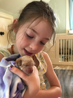 Australian Labradoodle Puppies Kent