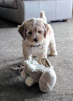 Labradoodle Puppies Gig Harbor