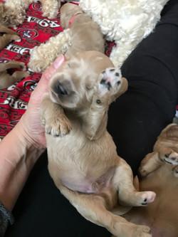 Australia Labradoodle Puppy