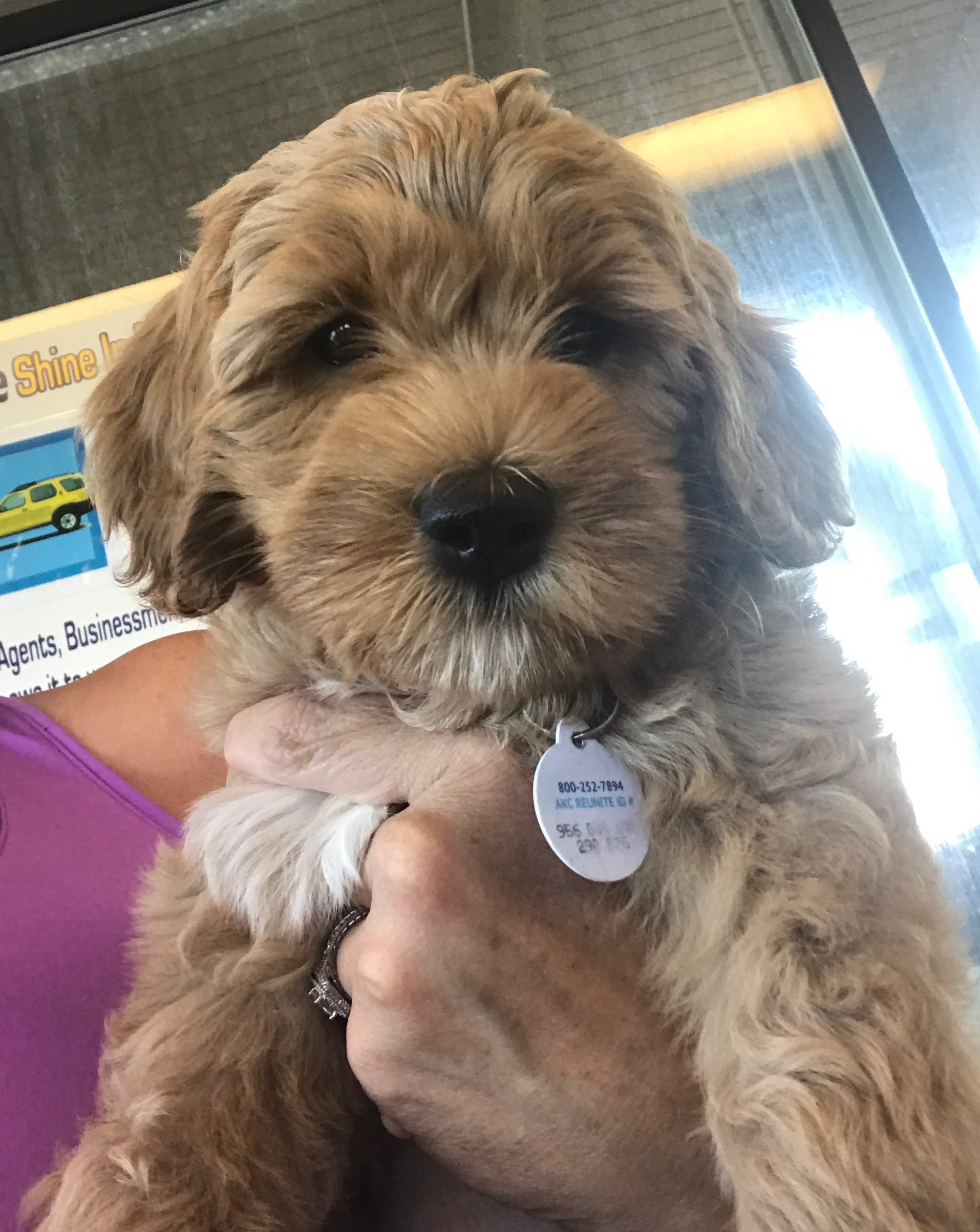 Labradoodle Puppies Bellevue