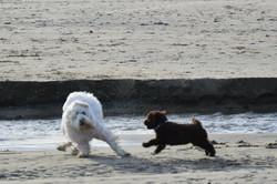 Australian Labradoodle Puppy Oregon