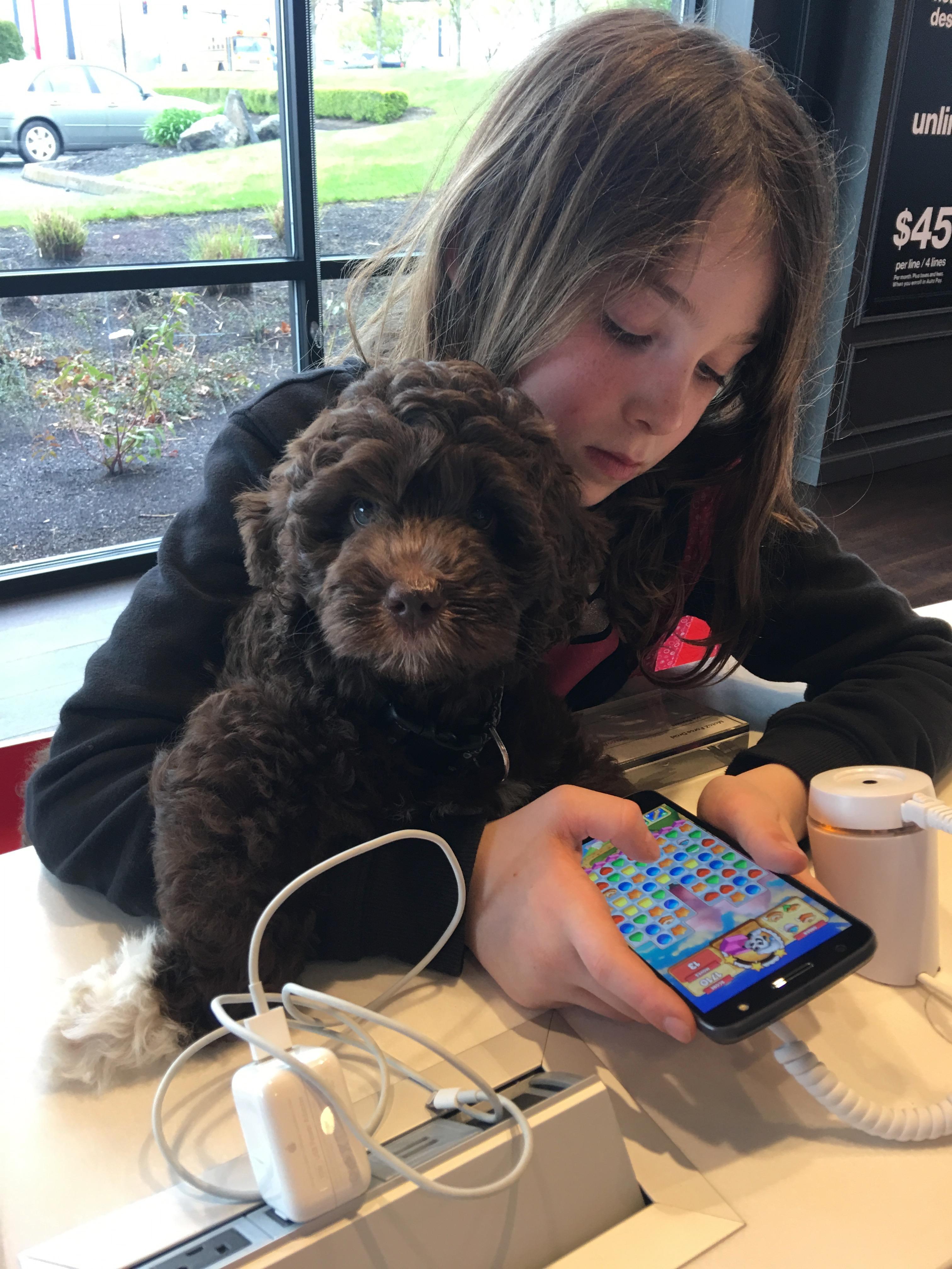 Australian Labradoodle Service Dog