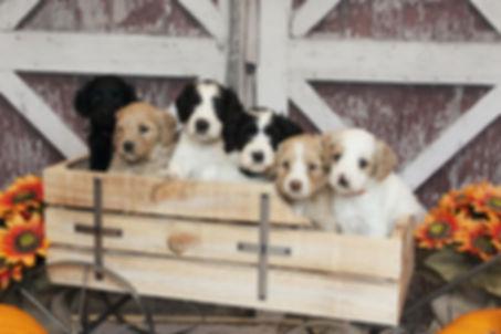 Australian Labradoodle Puppies For Sale Vancouver Washington Portland Oregon Seattle Issaquah Gig Harbor