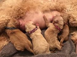 Australian Labradoodle Puppies Seatt