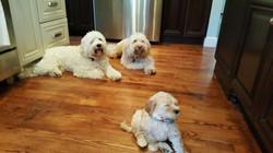 Labradoodle Puppies Portland