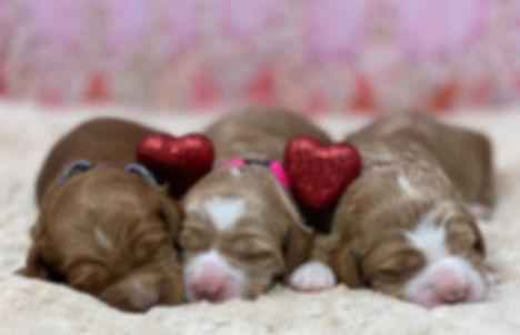Red & White Australian Labradoode Puppies Available now