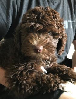 Australian Labradoodle Puppies Ohio