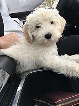 Australian Labradoodle Puppies WA